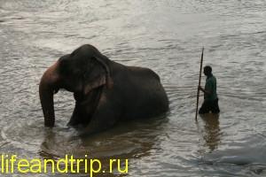 слоновий питомник на Шри-Ланке